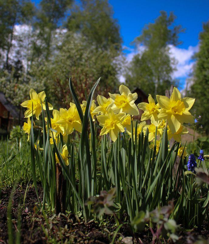 нарциисс narcissus лето урал небо синий желтый пейзаж Нарциисс (Narcissus)photo preview