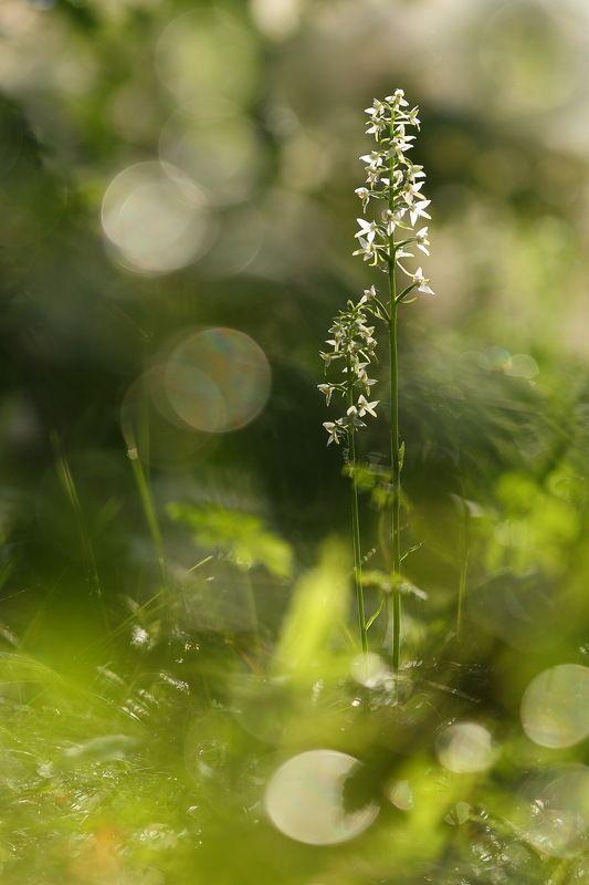 любка, двулистная, кукушкины слёзки, ночная фиалка, перелой, царские свечи, platanthera, bifolia, самарский лес Утро после дождяphoto preview