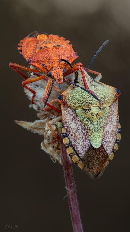 щитник, pentatomidae Агенты Щ.И.Т.photo preview