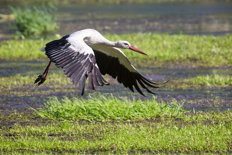 аист, stork, white stork, bird, wildlife, flight, белый аист, птицы, полет, дикая природа На взлетphoto preview