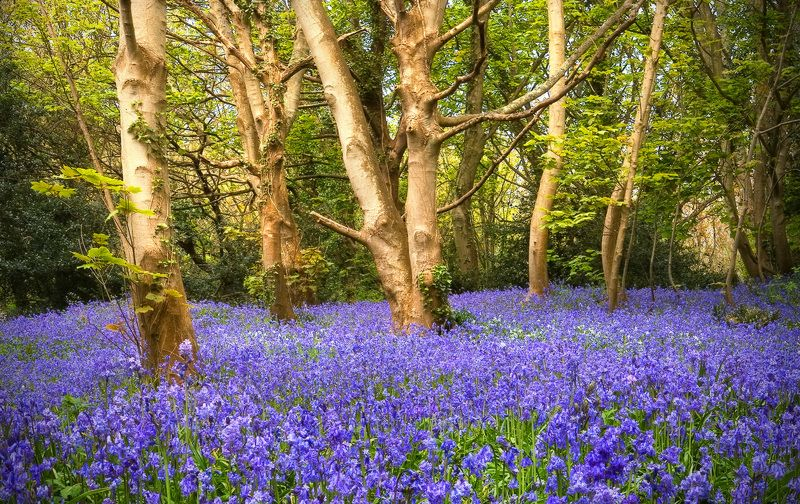 bluebell, wood, guernsey Bluebell Woodphoto preview