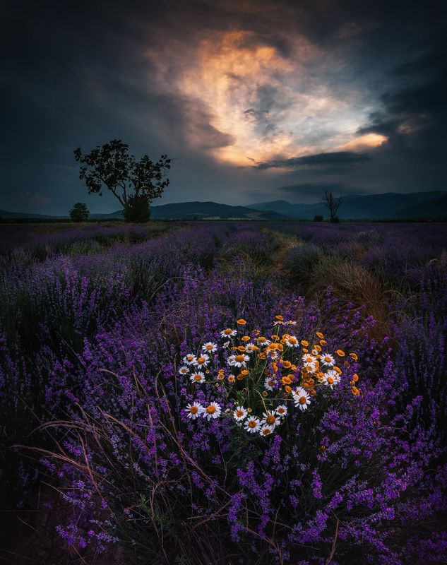 lavender,sunset, tree, nature, scent, landscape, outdoor Scent and colors photo preview