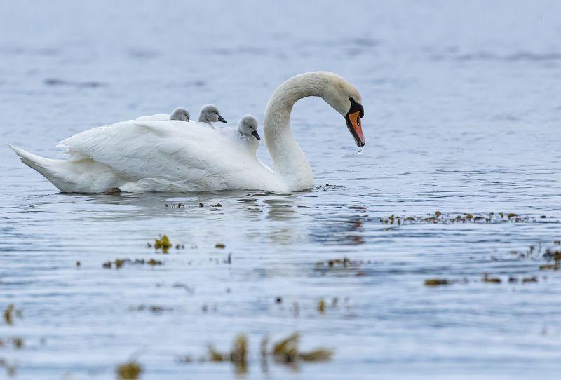 шотландия, птицы, лебедь, озеро, природа, scotland, birds, swan, lake, nature Верхом на маме...или папе )photo preview