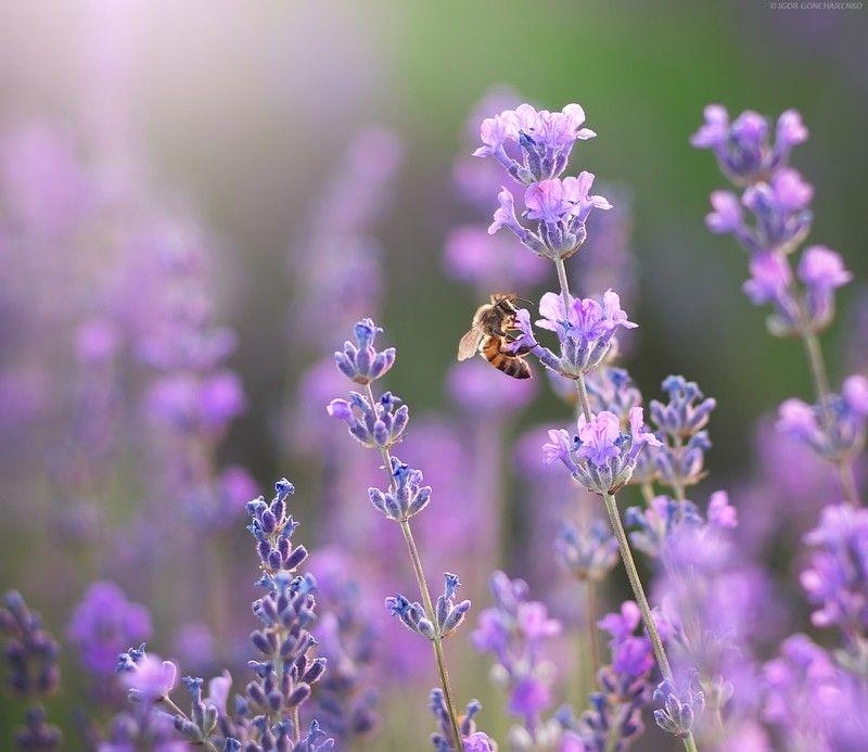 лаванда, пчела, цветок, портрет, близко, макро, пейзаж, нектар, Запахphoto preview
