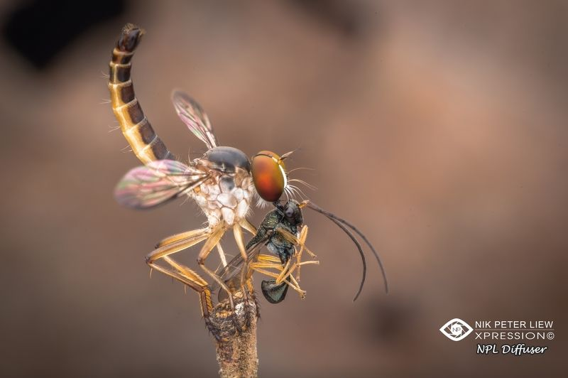 #robberfly, #eucharitid, wasp, #nature, #npl Super Hunter Fly with Preyphoto preview