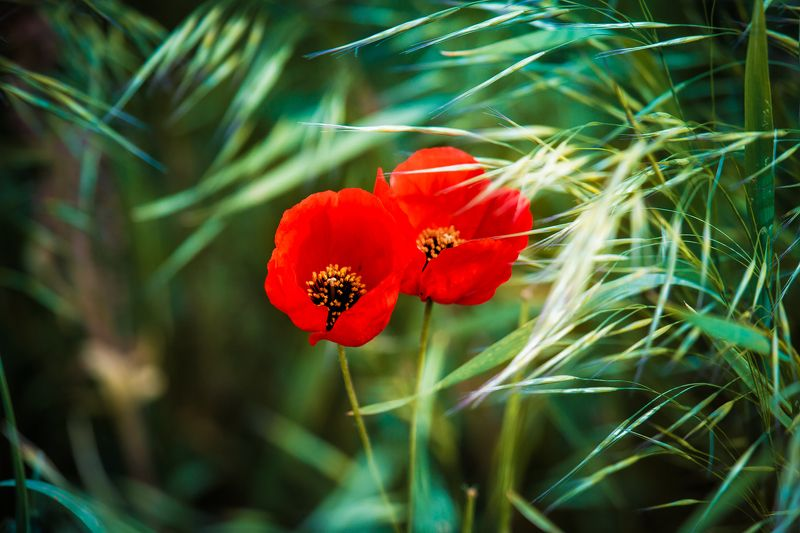 Маки Цветы Казахстан Canon Макиphoto preview