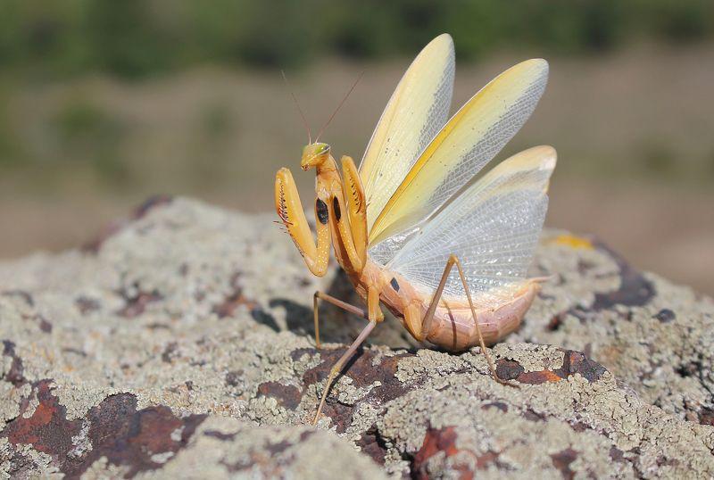 Обыкновенный богомол.(лат. Mantis religiosa)photo preview