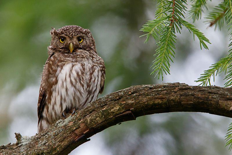воробьиный сычик, сова, pygmy owl Ушастый сычикphoto preview