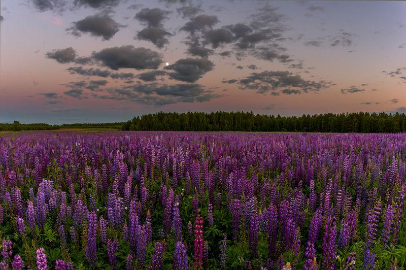 вечер сумерки луна люпины поле облака \\\\ Люпиновый вечерphoto preview