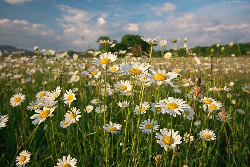 ромашки поле крым пейзаж цветы Жизньphoto preview