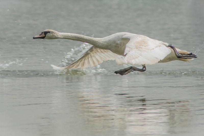 лебедь Белые лебедиphoto preview