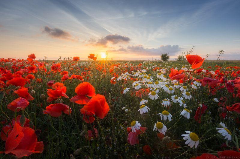 лето, маки, закат, пейзаж, poppies, sunset, landscape, summer Теплый вечер в маковом поле.photo preview