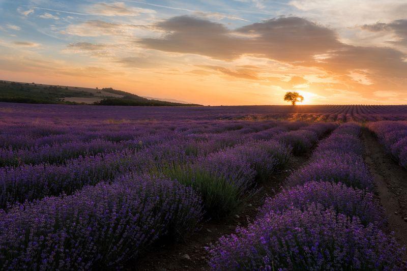 Lavender fieldphoto preview
