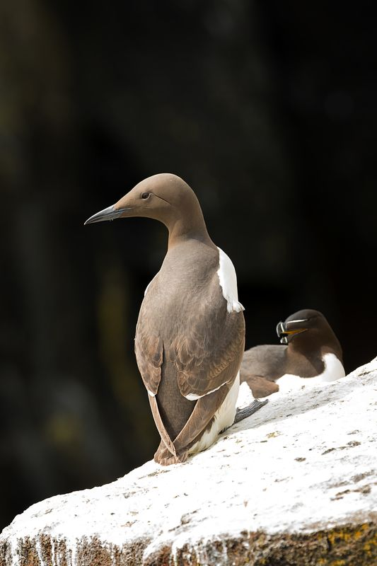 Guillemot razorbill seabirds Scotland Guillemot and razorbill. Isle of May. Scotlandphoto preview