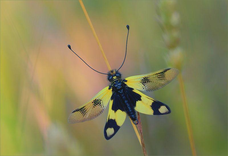 Аскалаф пестрый,бабочник золотоволосый или булавоуска пестрая.photo preview