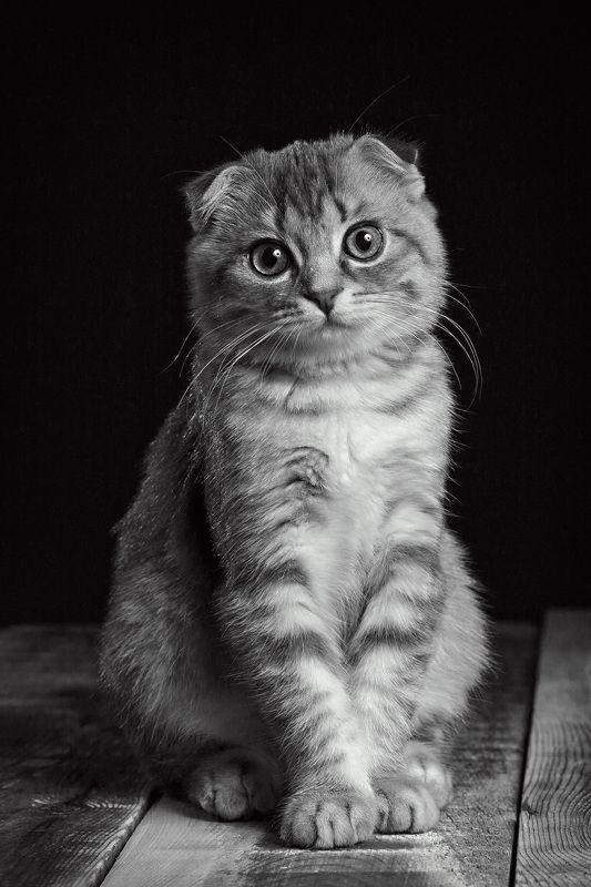 кошка, вислоухая британка, портрет, домашний питомец, красавица Василисаphoto preview