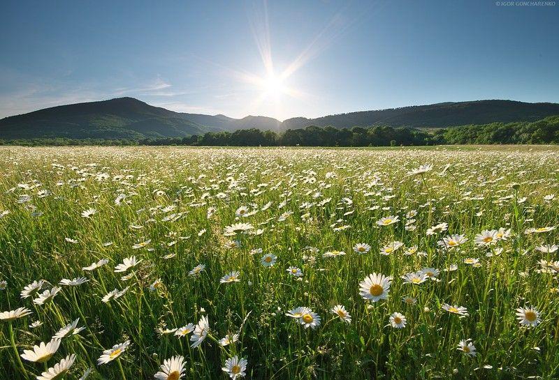 ромашки поле байдарская долина крым  Радостьphoto preview