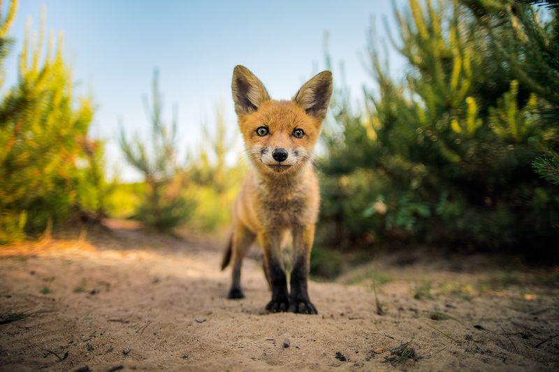 fox, wildlife, nature, portrait Portrait of Witalisphoto preview