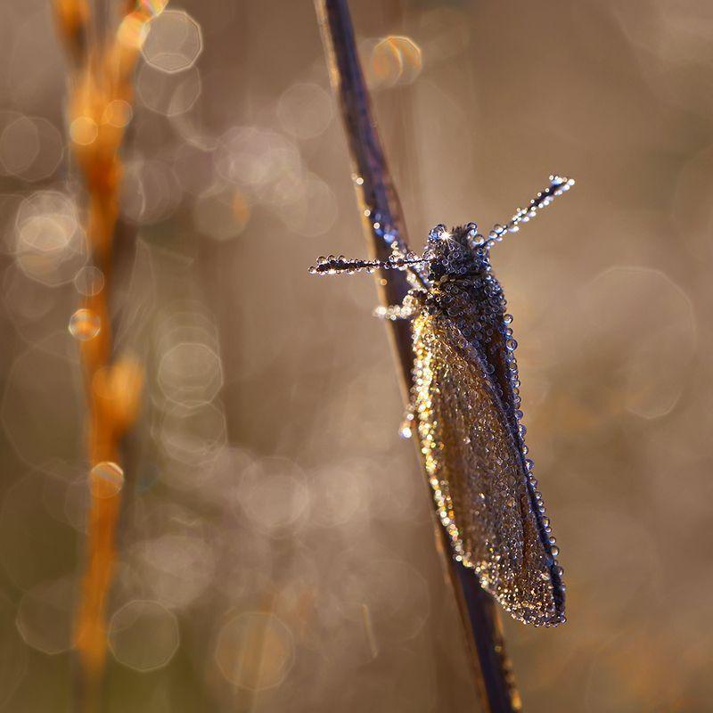 макро, насекомое, бабочка, роса, утро, природа А во лбу звезда горит...photo preview