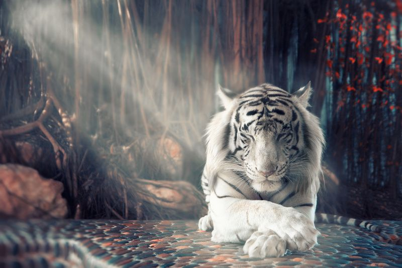 animal wild tiger tigerphoto preview