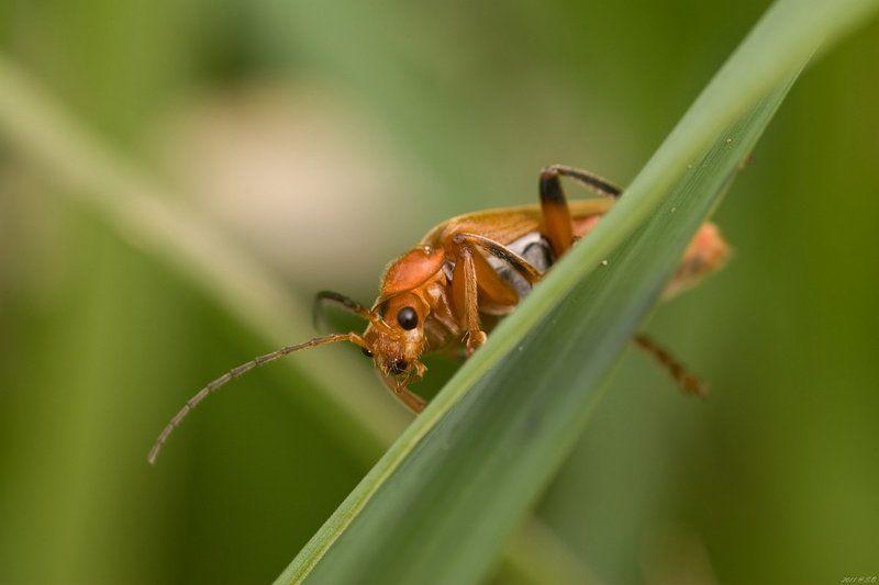 мягкотелки, , , soldier, , , beetle, , , weichkaefer, , , cantharidae Застенчивыйphoto preview
