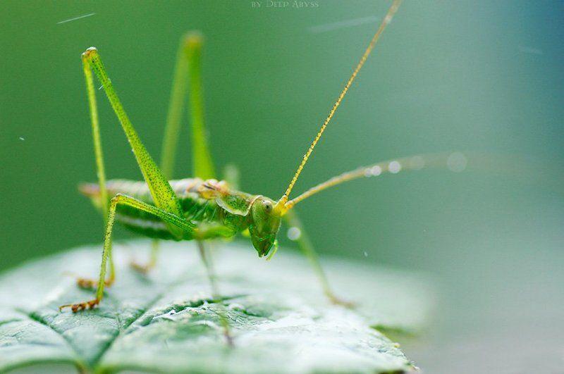 кузнечик, саранча, зелень, макро, природа, насекомое Под дождёмphoto preview