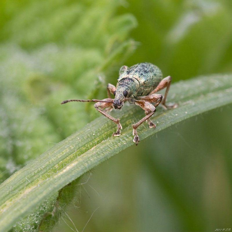 долгоносик, , , ruesselkaefer, , , curculionidae, , , weevil Кавалер на маршеphoto preview