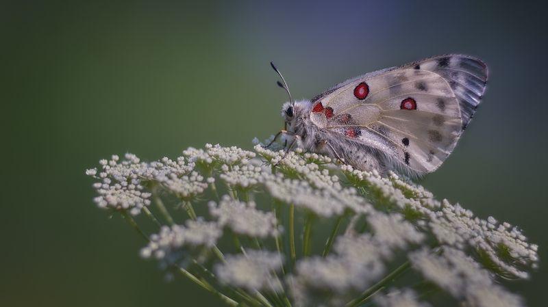 лето,дневная бабочка,бабочка парусник, Parnassius apollo Linnaeus,  Аполлон photo preview