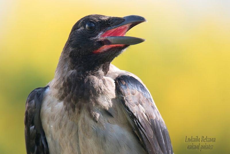ворона, молодая, июль, жара, утро Очарованная...photo preview