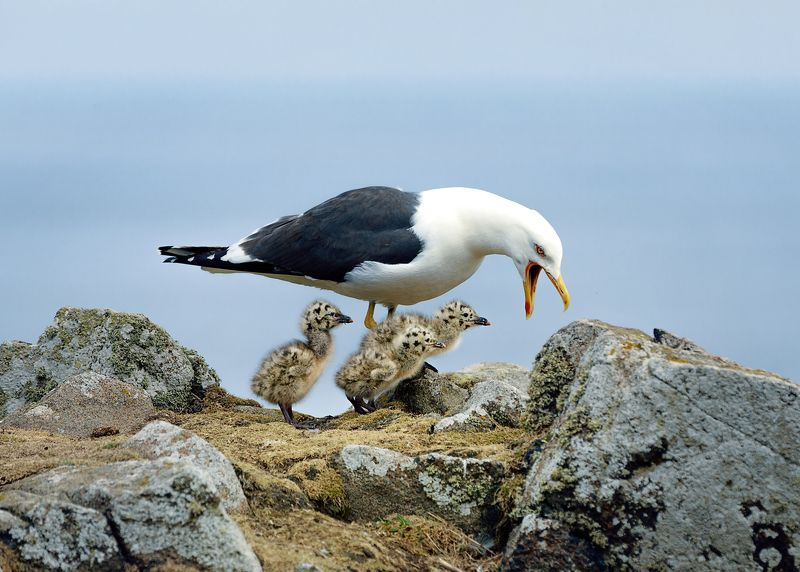 bids, gull, sea, island, scotland Lesser Black-backed Gull and and her chicks, Isle of May. Scotlandphoto preview