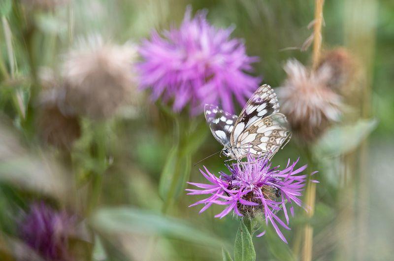 Шахматна пеперудаphoto preview