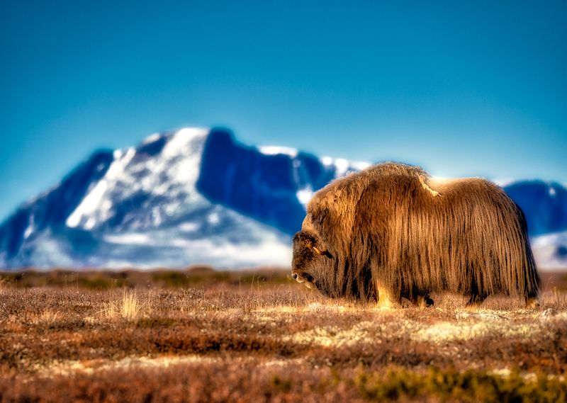 Musk Oxphoto preview