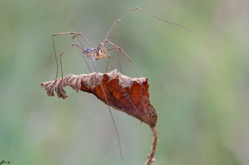 macro, makro, spider, wild, wildlife, nature, Phalangiidae sp.photo preview