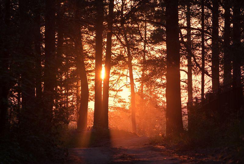 закат, солнце, природа Вечер в сосновом лесуphoto preview