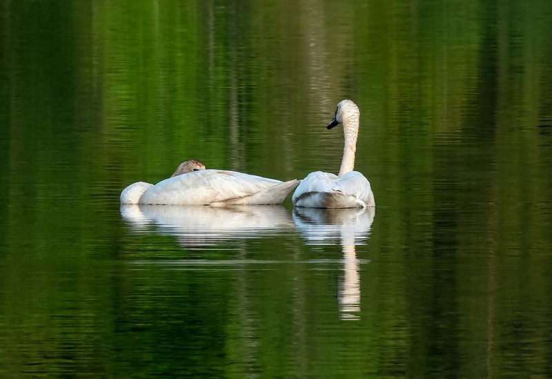 couple, white swans, lake, reflection, water, evening, пара, белые лебеди, озеро, отражение, вода, вечер Couplephoto preview