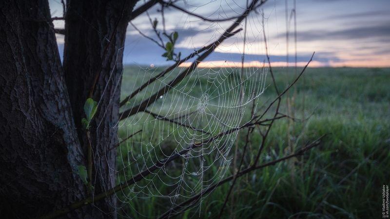 паутина, роса, рассвет, утро, дерево, поле, пермский край Паутинаphoto preview