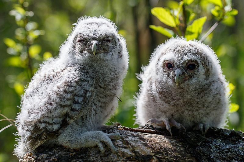 сова, птенцы, серая неясыть, owl, chick Малышиphoto preview