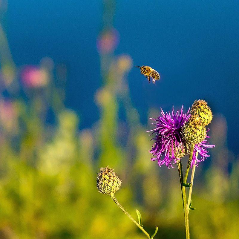 макро, лето, закат, пчела В закатном свете. photo preview