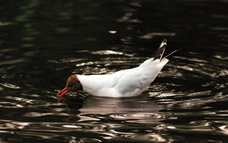 gull, wild life, birds, reflection, river Black headed gullphoto preview