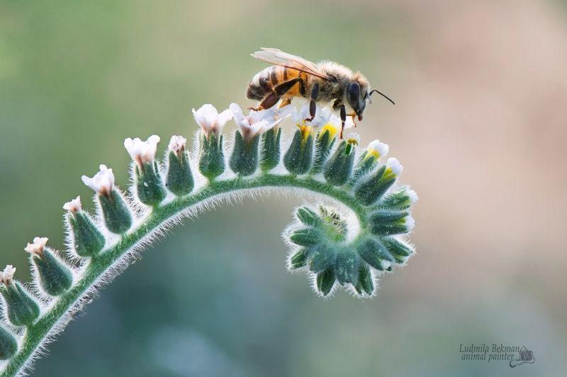 пчела, утро, июль По крутой дорожке прямо в летний день...photo preview