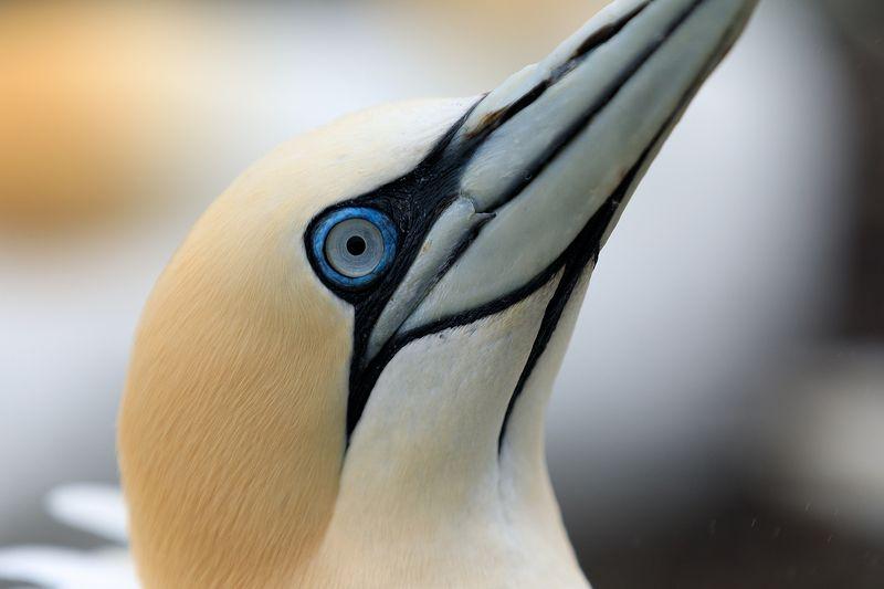 seabird, close up,north sea, beak, Scotland Portrait of an adult gannet.  Bass Rock. Scotlandphoto preview