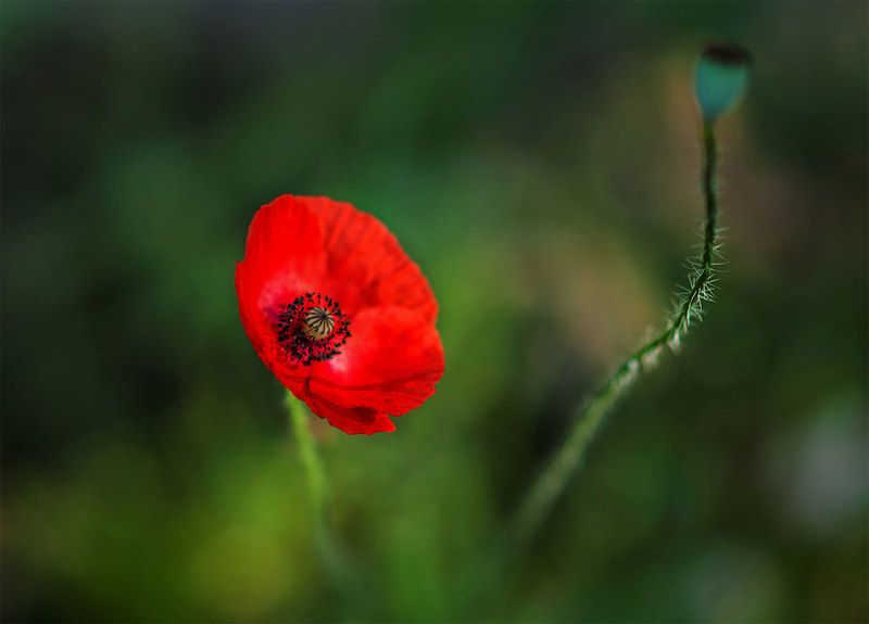 poppy,red,green,blossom Summer colorsphoto preview