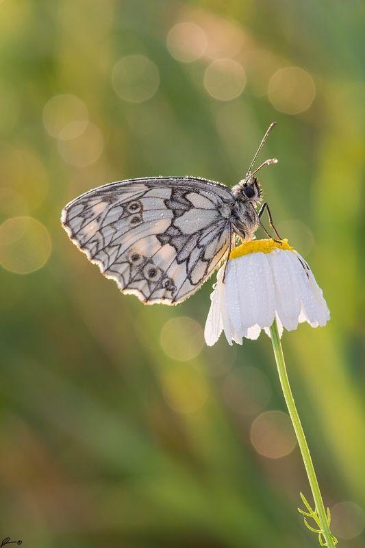 macro, makro, flowers, wild, wildlife, buttrrfly, nature, insects Polowiec szachownica - (Melanargia galathea)photo preview