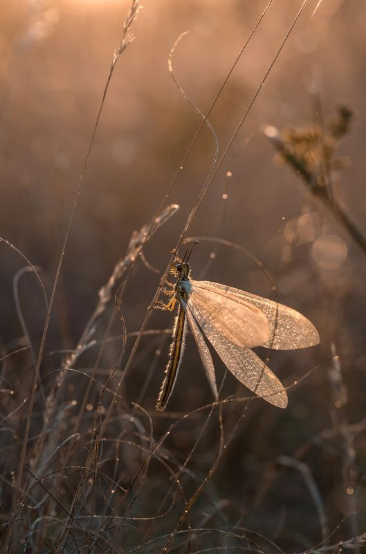 макро, рассвет, муравьиный лев Сказочная феяphoto preview