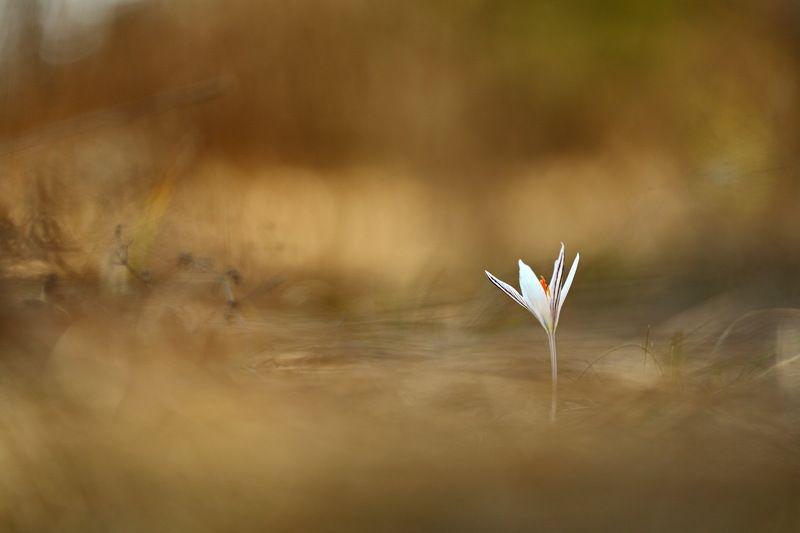 шафран, сетчатый, крокус, полосатый, crocus, reticulatus, самарский лес В траве прошлогоднейphoto preview