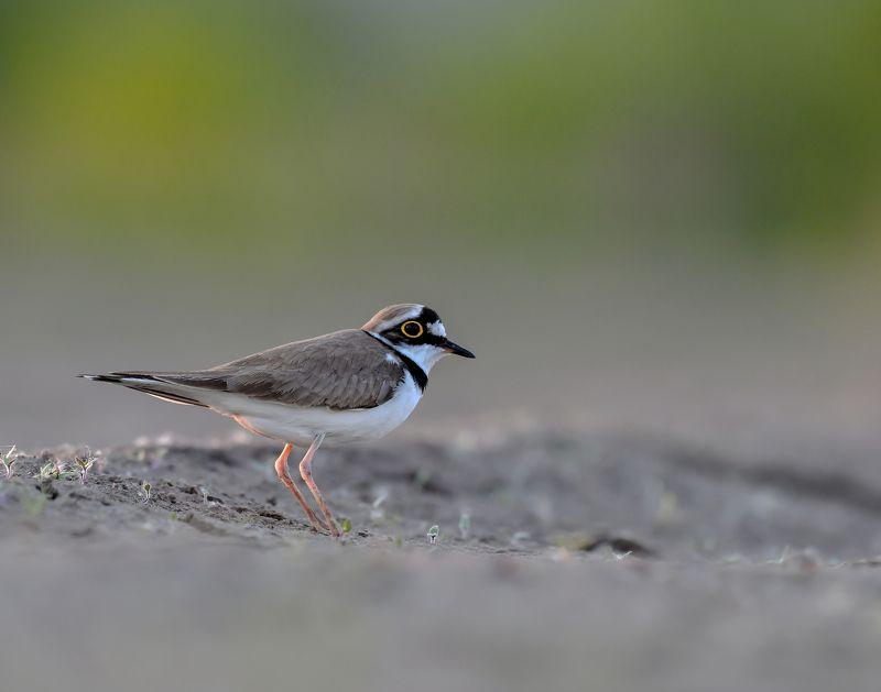 птицы,природа,лето Малый зуёк.photo preview