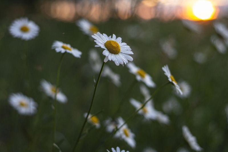 природа, цветы, ромашки, лето, закат, вечер На закатеphoto preview