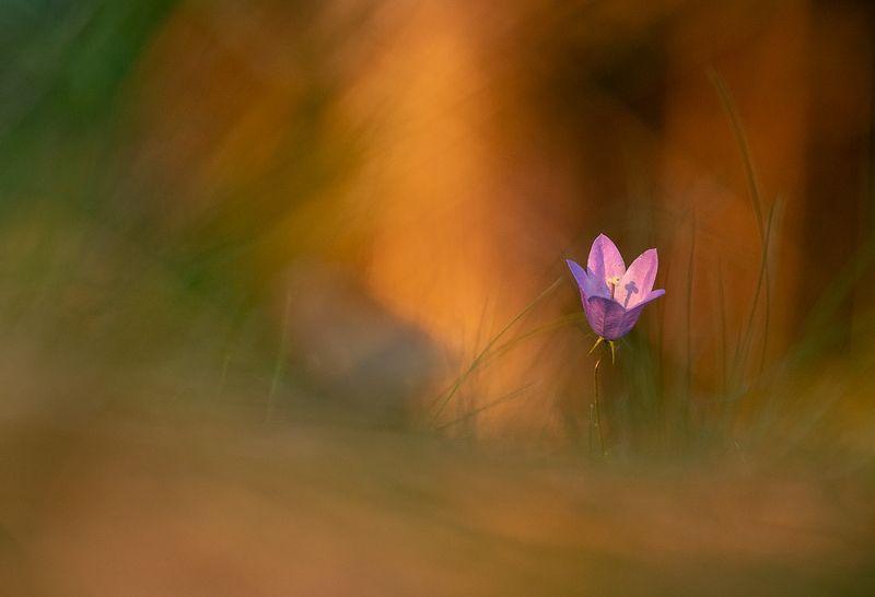 цветы,цветок,макро,растения,колокольчики,природа,бокэ Летние краскиphoto preview
