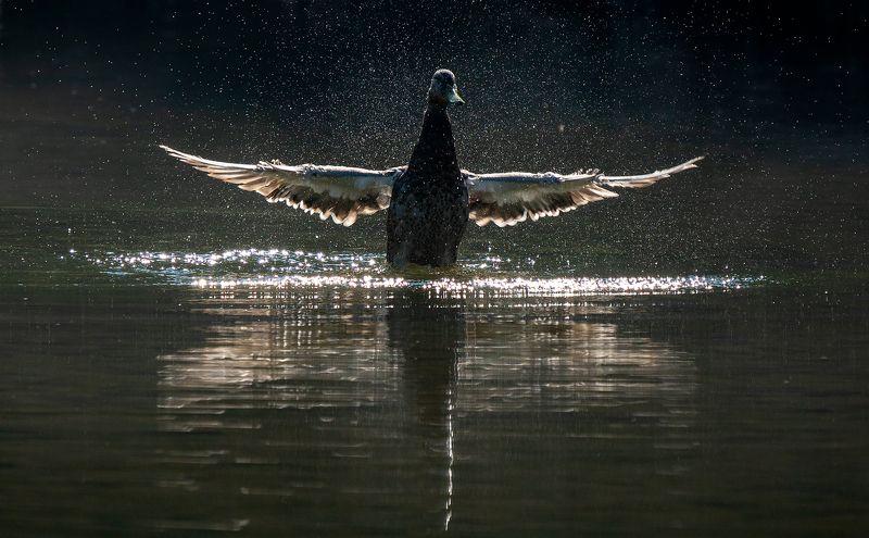 river, morning, duck, reflection, splash, sunshine, река, утро, утка, отражение, брызги, солечное сияние Morning showerphoto preview