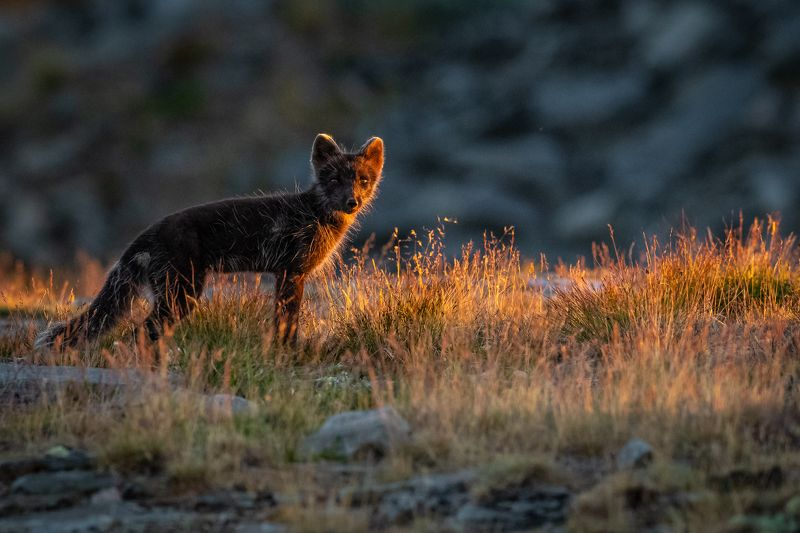 fox, arctic fox, animal Mama fox in the late sunset light.photo preview